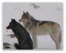 Yellowstone Wolf Pack