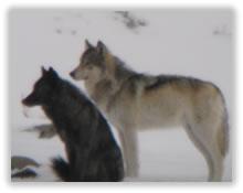 yellowstone-wolfpair